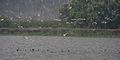 Whiskered Tern (Chlidonias hybridus) & Indian Cormorant (Phalacrocorax fuscicollis) W IMG 3608.jpg
