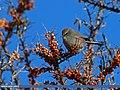 White-browed Tit Warbler (Leptopoecile sophiae) (24180037955).jpg