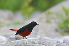 White-capped Redstart (male).JPG