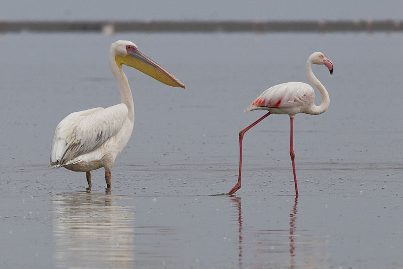 ଫାଇଲ:White Pelican and Greater Flamingo (Walvis Bay).jpg