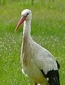 White Stork (Ciconia ciconia) (26473422281).jpg