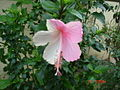White and pink hibiscus.JPG