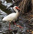 White ibis - eudocimus albus.jpg