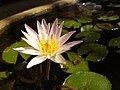 White water lily small.jpg