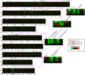 Whole Genome TreeView Representation of Interhominoid cDNA aCGH Data for Five Hominoid Species for Human Chromosomes 1–9 - journal.pbio.0020207.g005.png