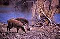 Wild Boar (Sus scrofa cristatus) (20312906482).jpg