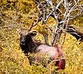Wild Elk.jpg