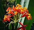 Wild Orchids. Reed-stemmed Epidendrum . Epidendrum radicans - Flickr - gailhampshire (1).jpg