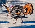 Wild Turkey (16733801008).jpg
