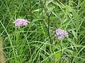 Wildflower P7150015.JPG