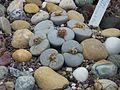 Wilhelma lebende Steine.jpg