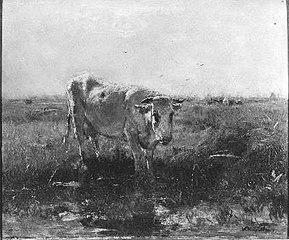Witte koe aan slootkant