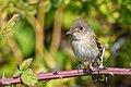 Willow Flycatcher (44571990671).jpg