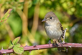 Willow Flycatcher (44571990671).jpg