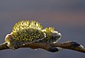 Willow in evening sun (2399192006).jpg