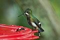 Wire-crested Thorntail (Discosura popelairii) 2015-06-14 (9) (25457698457).jpg