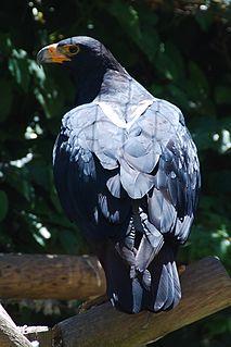 Verreauxs eagle species of bird