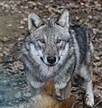 Wolf im Nationalpark Bayerischer Wald. 662WI.jpg