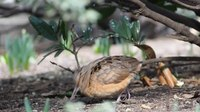 File:Woodcock in Bryant Park (92764).webm