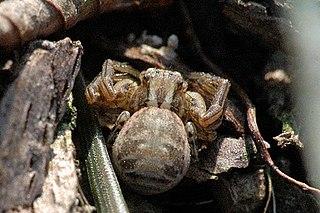 <i>Xysticus cristatus</i> species of arachnid