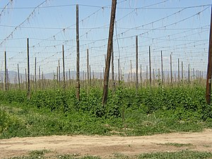 Hops - Early season hop growth in a hop yard in the Yakima River Valley of Washington with Mount Adams in the distance