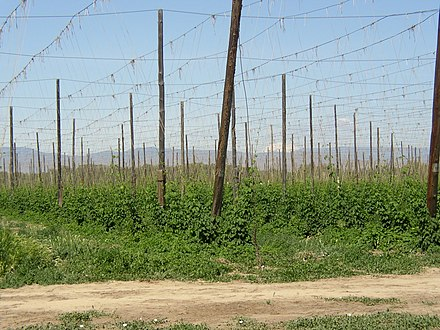 Early season hop growth in a hop yard in the Yakima River Valley of Washington with Mount Adams in the distance Yakima-Valley-Hop-Yard.jpg