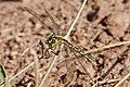 Yellow-striped hunter dragonfly04.jpg