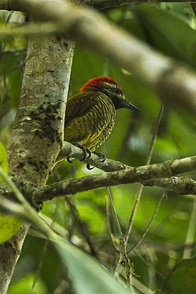 Yellow-vented Woodpecker - Colombia S4E8871 (16223080170).jpg