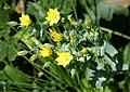 Yellow-wort. Blackstonia perfoliata (36333730275).jpg