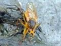 Yellow dung-fly (Scathophaga stercoraria) ♂ (34468849956).jpg