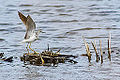 Yellowlegs (14026724676).jpg