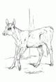 Young Calf.png