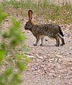 Young Scrub Hare (Lepus saxatilis) (31997125414).jpg