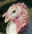 Young Tom Turkey Harvest Home Animal Sanctuary.jpg