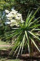 Yucca gigantea (Yucca elephantipes) - Fruit and Spice Park - Homestead, Florida - DSC08919.jpg