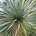 Yucca rostrata-IMG 6507.JPG