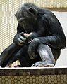 Zärtliche Schimpansen Leintalzoo 2013.JPG