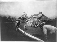 A tamed zebra being ridden in East Africa