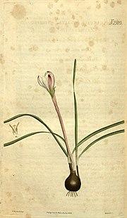 Zephyranthes minuta (as Zephyranthes striata) 52.2593.jpg