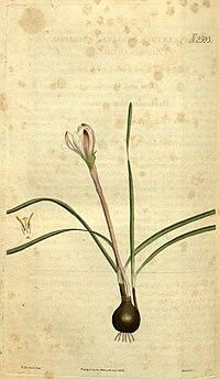 Zephyranthes minuta (as Zephyranthes striata) 52.2593