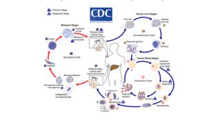 Zoonosis of Malaria.png