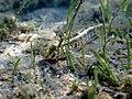 Zosterisessor ophiocephalus Istria2018 3598.jpg