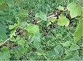 Zwarte bes (Ribes nigrum).jpg