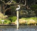 (1)pelican Centennial Park 059.jpg