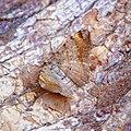 (1893) Tawny-barred Angle (Macaria liturata) (35517404345).jpg