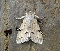 (2280) The Miller (Acronicta leporina) (7510203270).jpg