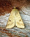 (2400) Scarce Bordered Straw (Helicoverpa armigera) (28212417541).jpg