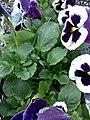 (Viola tricolor ) - panoramio.jpg