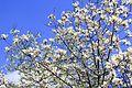 Белые магнолии в апреле.jpg