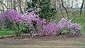 Ботанічний сад ім. акад. Фоміна, цвітуть рододендрони.jpg